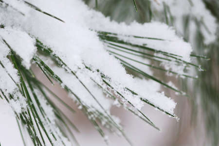 Pine needles covered with fluffy snow, macro with snowflakes visible Stock Photo - 1898629