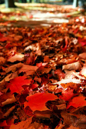 floor covering: Red maple tree leaves on the forest floor in the fall Stock Photo