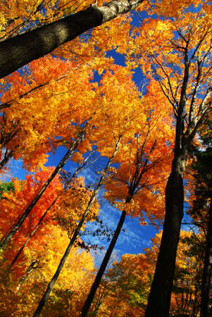 canopy: Canopies of tall autumn trees in sunny fall forest