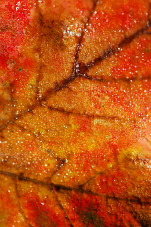 Natural macro background of fall maple leaf with water droplets Imagens