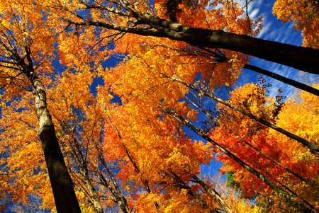 青い空を背景に太陽の光に輝く秋もみじの木
