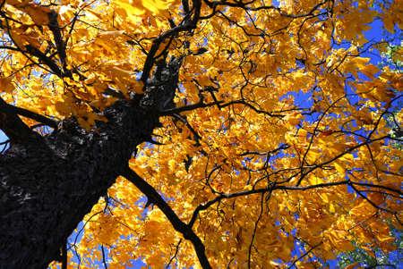 Złote korony jesiennej starych drzewa Wiąz w lesie upadku słoneczny  Zdjęcie Seryjne - 1979935