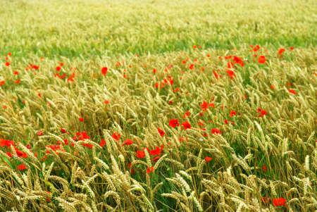 Red poppy flowers growing in green rye grain field