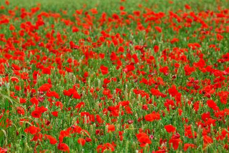 Red poppy flowers growing in green rye grain field, floral background photo
