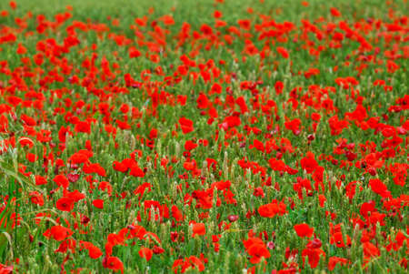 remembrance: Red poppy flowers growing in green rye grain field, floral background