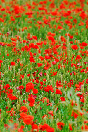 Red poppy flowers growing in green rye grain field, floral natural background photo