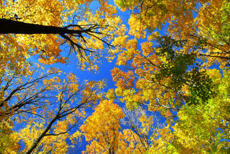 maple trees: Fall maple trees on a warm autumn day Stock Photo
