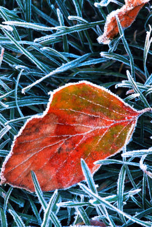 Frosty fallen tree leaf lying on frozen grass on a cold fall morning photo