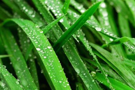 Big water drops on green grass blades, closeup photo