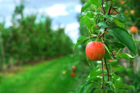 arbol de manzanas: Red manzanas maduras en manzanos sucursales en la huerta