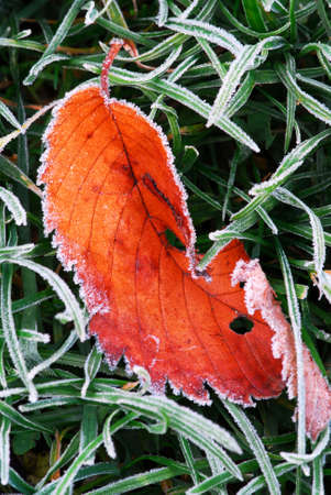 Frosty red fallen leaf lying on frozen grass on a cold fall morning photo