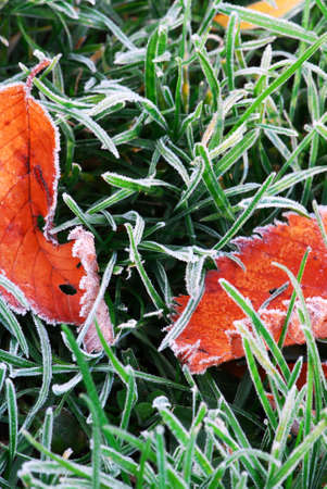 Frosty red fallen leaves lying on frozen grass on a cold fall morning photo