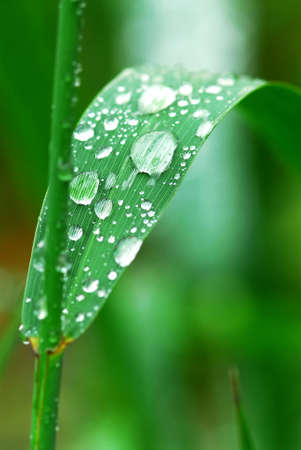 Big water drops on a green grass blade photo