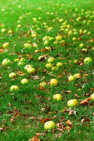 Fallen apples under a tree in an orchard