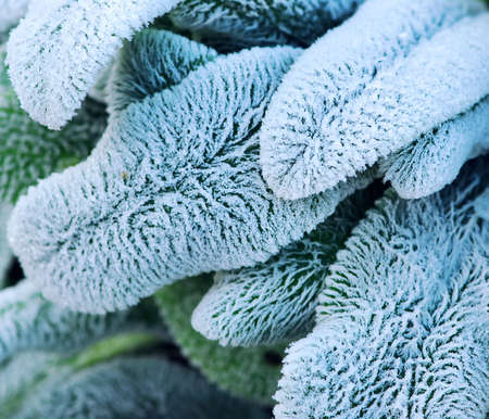 hoar: Morning frost on plant leaves in late fall