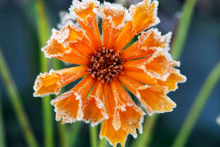 late fall: Morning frost on a flower in late fall. Focus on petals with ice crystals.
