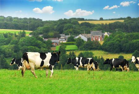 Cows grazing in a green pasture in rural Brittany, France. photo