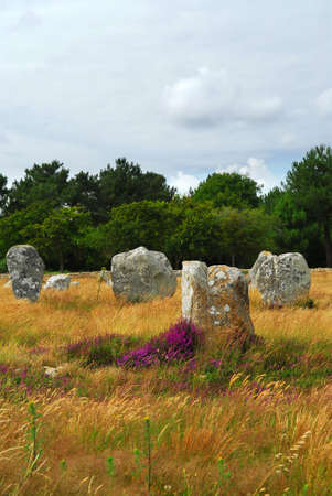 alignments: Heather blooming among prehistoric megalithic monuments menhirs in Carnac area in Brittany, France
