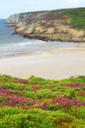 Heather blooming at Atlantic ocean coast in Brittany, France photo