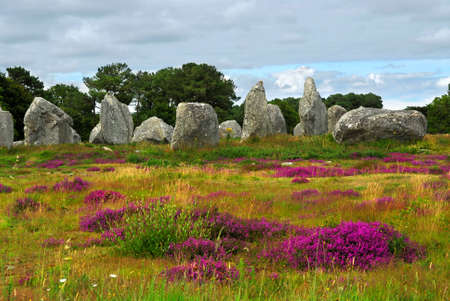 bretagne: Heather blooming among prehistoric megalithic monuments menhirs in Carnac area in Brittany, France