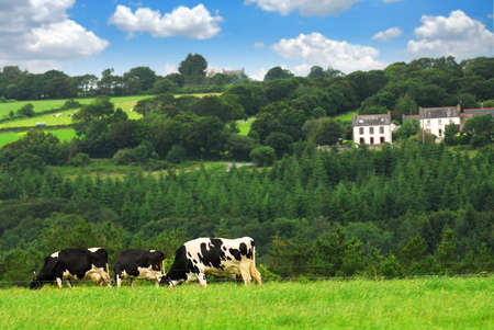 Cows grazing on a green pasture in rural Brittany, France photo