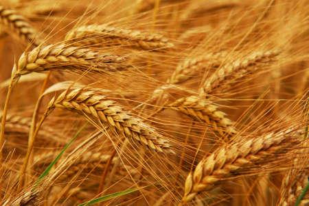 Golden wheat growing in a farm field, closeup on ears Stock Photo - 2338275