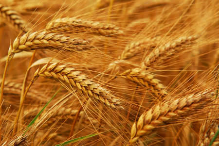 Golden wheat growing in a farm field, closeup on ears Stock fotó - 2338275