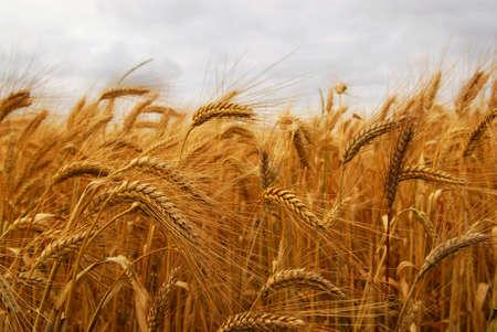 Golden wheat growing in a farm field, closeup on ears Stock Photo - 2338283