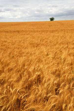 Agricultural landscape of golden wheat growing in a farm field Stock Photo - 2338296