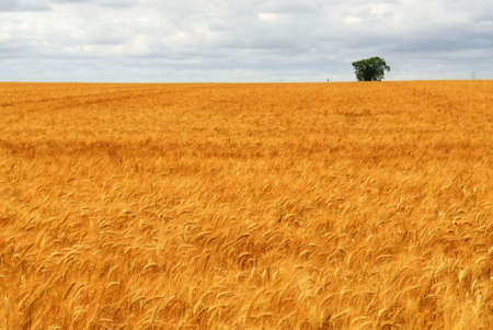 Agricultural landscape of golden wheat growing in a farm field Stock Photo - 2338291