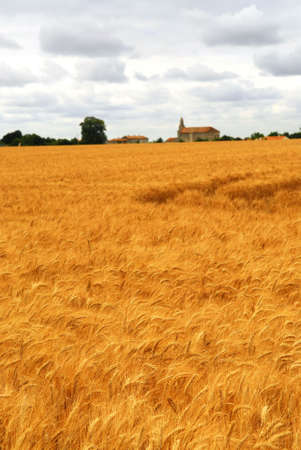 Agricultural landscape of golden wheat growing in a farm field photo