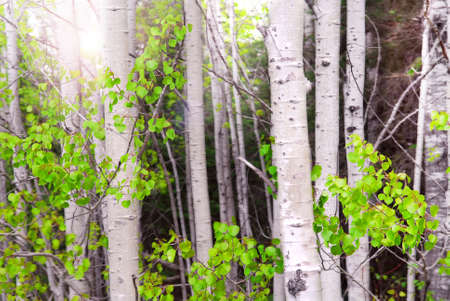 Natural background of aspen tree trunks in a grove with sunlight
