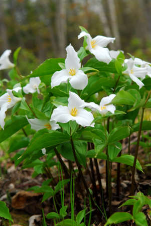provincial: White Trillium blooming in woodlands, Ontario provincial flower