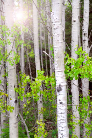 Natural background of aspen tree trunks in the spring with sunlight