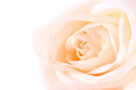 Delicate high key beige rose macro on white background