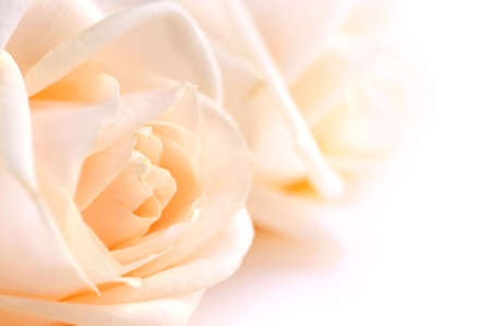 feminity: Two delicate high key beige roses macro floral background Stock Photo