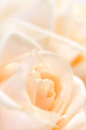 gentleness: Floral background of two delicate high key beige roses macro