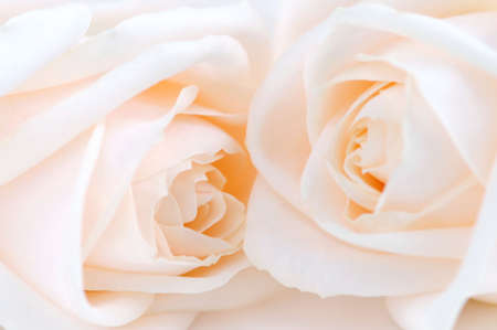 Two delicate high key beige roses macro floral background Stock Photo - 2483434