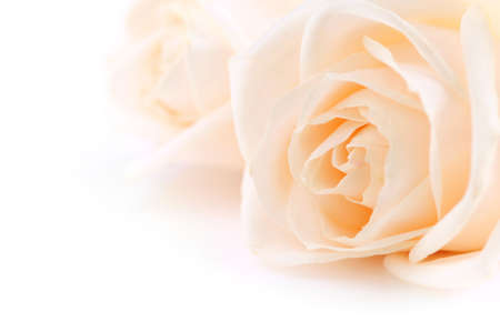 Floral background of two delicate high key beige roses macro on white Archivio Fotografico