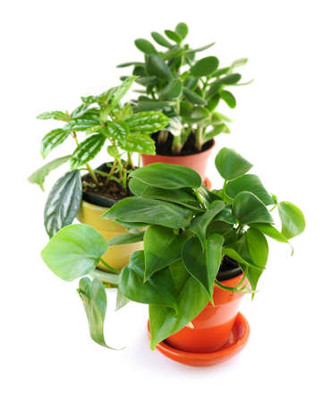 indoors: Assorted green houseplants in pots isolated on white background