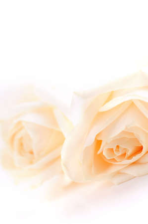 Macro of two delicate high key beige roses on white background Stock Photo