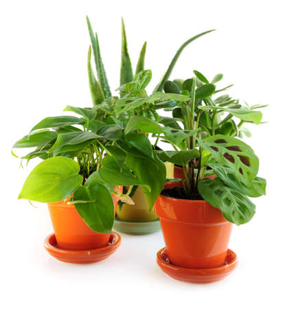 Assorted green houseplants in pots isolated on white background photo