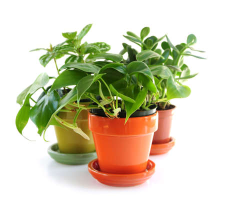 houseplants: Assorted green houseplants in pots isolated on white background