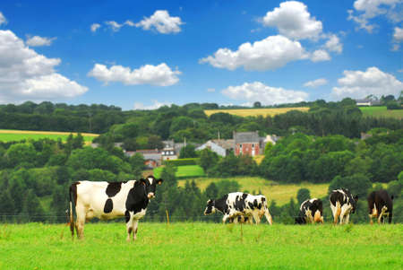Cows grazing on a green pasture in rural Brittany, France Banco de Imagens