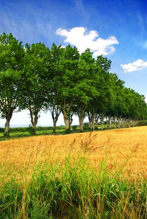 sicomoro: Paesaggio con una strada di campagna fiancheggiata da alberi di sicomoro nel sud della Francia Archivio Fotografico