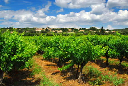 Rows of green vines in a vineyard in rural southern France photo