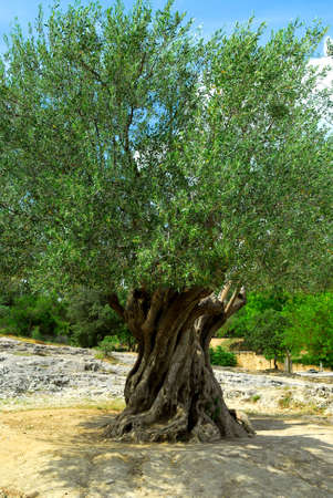 huge tree: Ancient olive tree growing in southern France Stock Photo