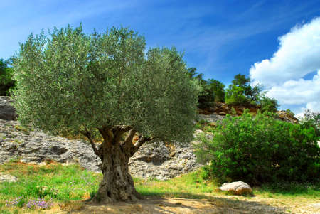 Ancient olive tree growing in southern France photo