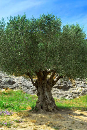 Ancient olive tree growing in southern France Фото со стока