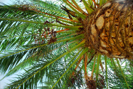 Canopy of a young date palm tree Stock Photo